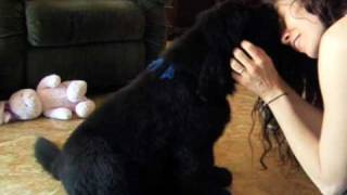 Baby Newfie Meets His New Family