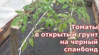 Высадка томатов в открытый грунт на черный спанбонд
