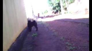 Dog Shar-pei Fighting Vs. Men