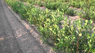 Growing Blueberries for Big Profits