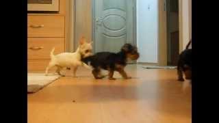 Yorkshire Terrier & Chihuahua Yavruları