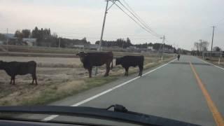 福島原子力発電所立入禁止区域内の家畜達(牛さん編)