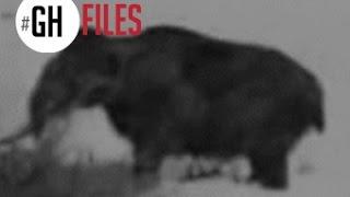MAMUT REAL GRABADO EN SIBERIA (1943) #GHFILES