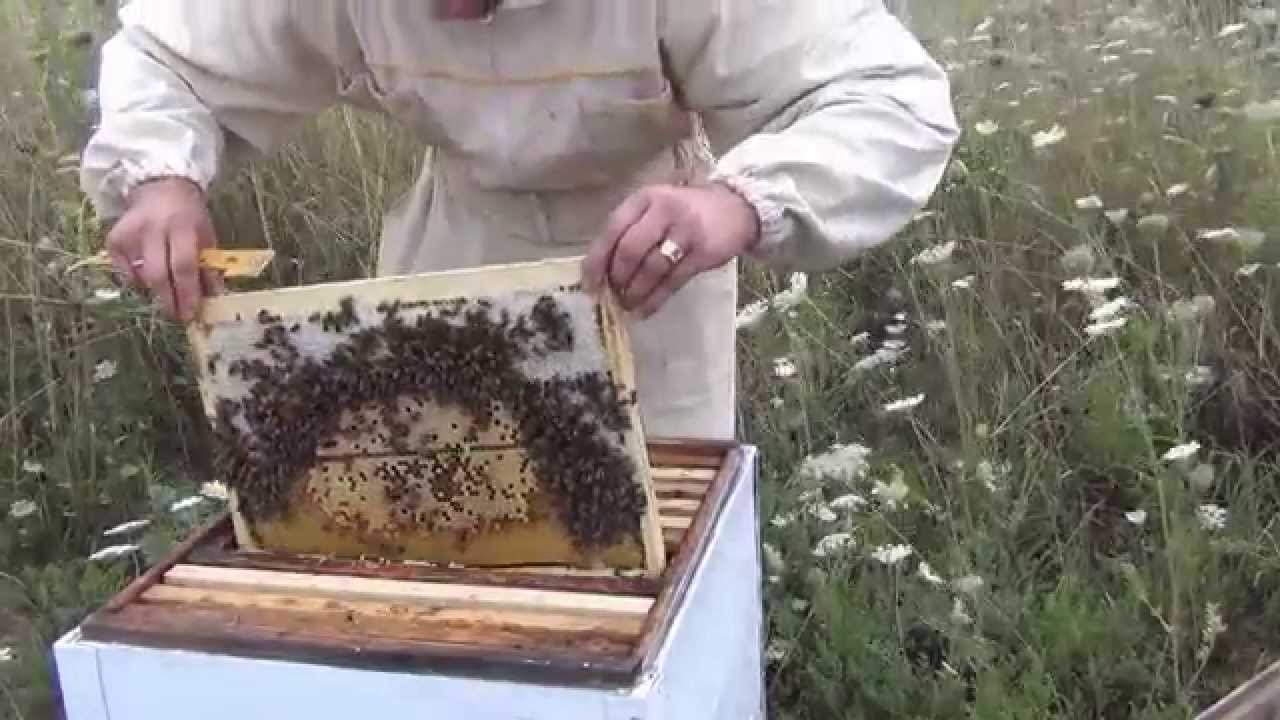 Как сделать отводок пчел без матки фото 924