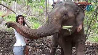 «ស្រីកែវ» ជាដំរីញីតែមួយគត់នៅរតនគិរី ហើយក៏ជាក្ដីសង្ឃឹមនៃកំណើតកូនដំរីថ្មី | Elephants |