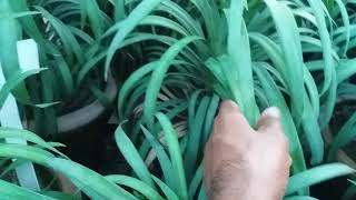 How do yucca plant care ,growing tips,yucca plant indoor out door plant