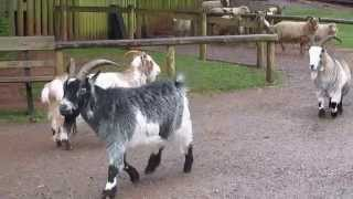 Goat attack at Paignton Zoo