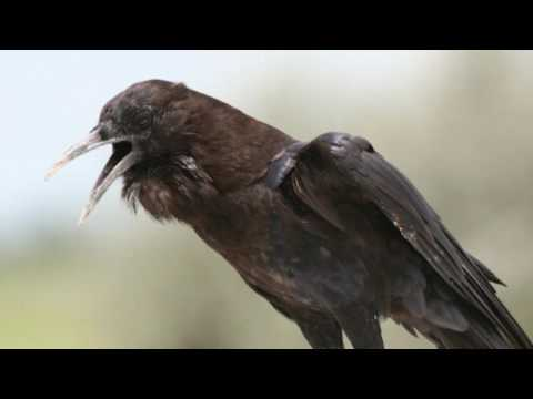 CROW SOUNDS and PICTURES  Crow Birdsong Crow Call