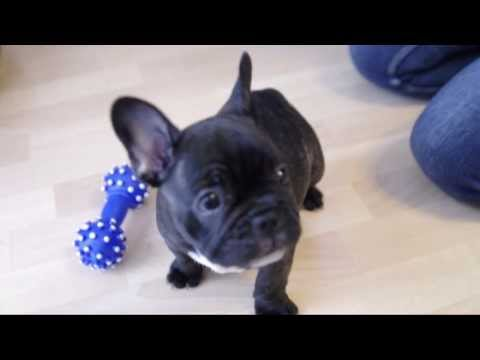 Welcome home Frankie  - 8 weeks old french bulldog puppy HD