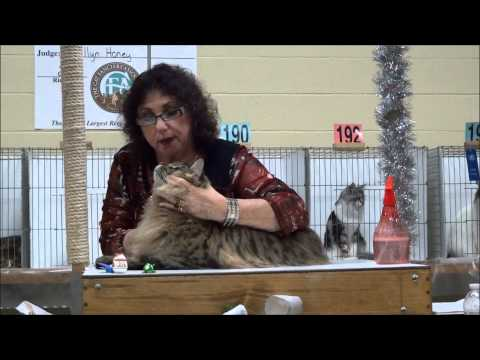 Maine Coons at CFA show