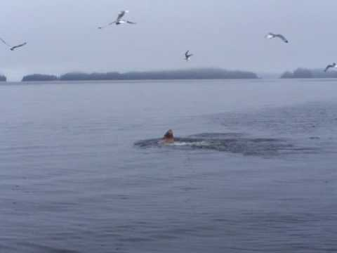 Stellar Sea Lion Kills and Eats Salmon Shark