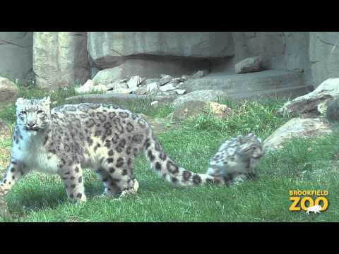snow-leopard-cub-makes-public-debut-at-brookfield-zoo