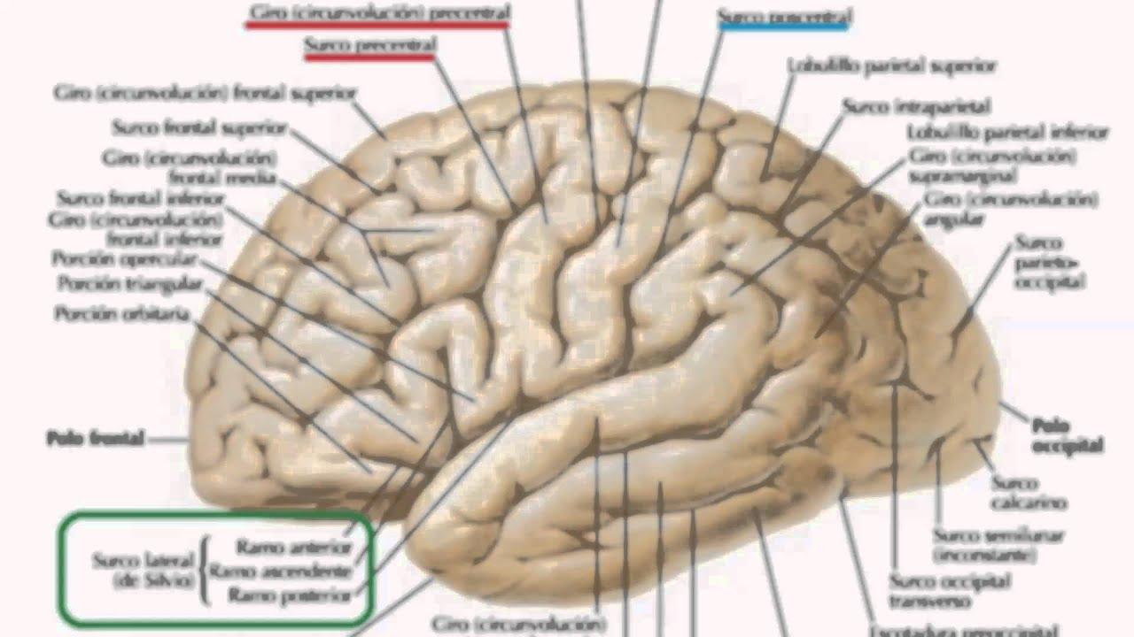 Perfecto Anatomía Interna Del Cerebro Colección - Anatomía de Las ...