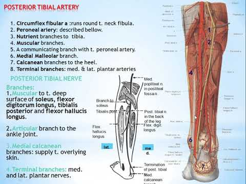 56 POSTERIOR TIBIAL ARTERY AND POSTERIOR TIBIAL NERVE ...