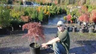 Tending your Crimson Queen Maples in North Jersey