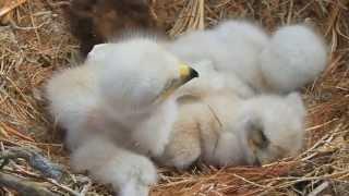 Птенцы беркута