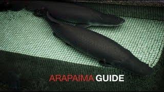TL's Arapaima Care Guide (15/8/2013)