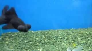 Аквариумная рыбка - Телескоп!(Все для аквариума - https://goo.gl/DBLzFl Ребята рекомендую интернет - зоомагазин