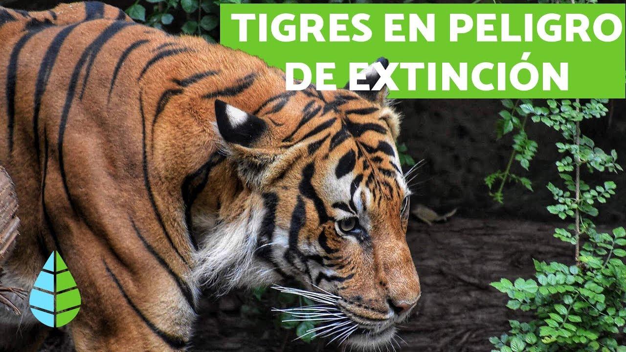 Download TIGRES EN PELIGRO DE EXTINCIÓN - ¿Cómo evitarlo?
