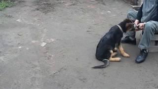 Обучение собак следовая работа начальный этап  1 часть