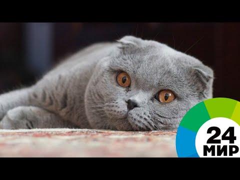 купить шотландских котят в Москве - YouTube