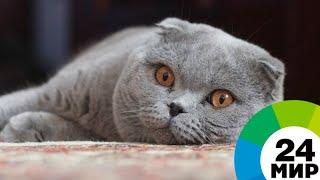 Шотландцы, британцы и мейн-куны: самые популярные породы кошек - МИР 24