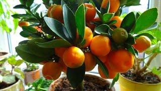 комнатные растения - каламондин(Описание., 2015-11-24T06:04:11.000Z)
