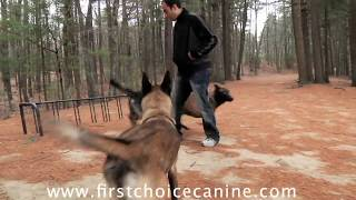 Three Dogs Demonstrate Synchronized Obedience And Tricks By First Choice Canine