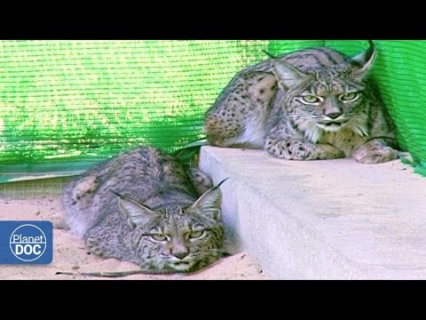 Iberian Lynx Documentary | Part 4