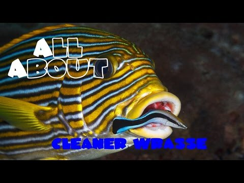 All About The Cleaner Wrasse or BlueStreak Cleaner Wrasse