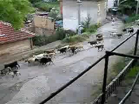 Melodic Goat Bells of Chiprovtsi