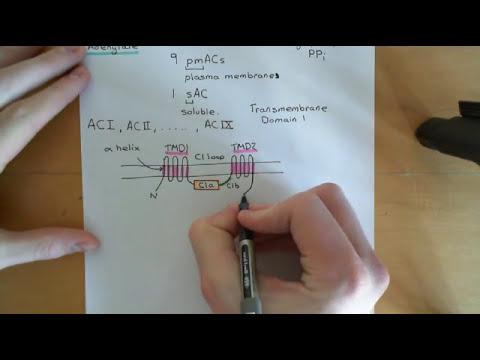Cyclic AMP signalling Part 1