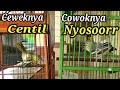 Tempel Sirpu Jantan Dan Betina Biar Gacor  Mp3 - Mp4 Download
