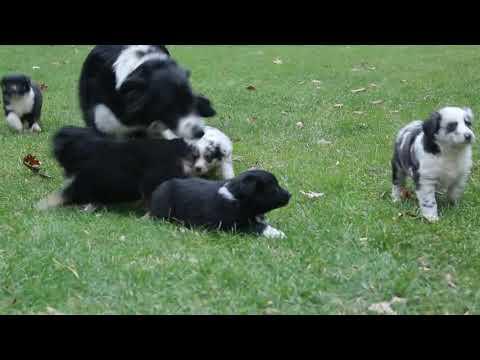 Pictures of australian shepherd puppies for sale in ga georgia