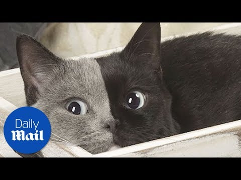 Cat has two faces- Daily Mail