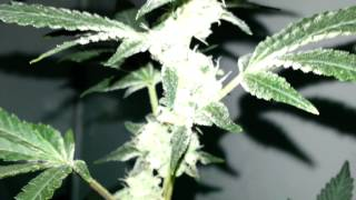 600 Watt Indoor Variety Grow part 5 - Girl Scout Cookies is Frosty!!!