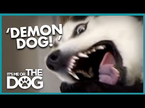 Diesel The 'Demon' Husky | It's Me or the Dog