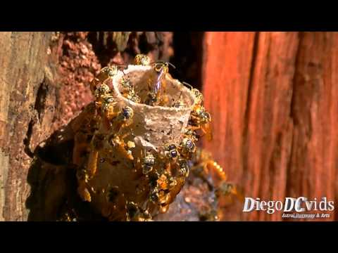Tetragonisca angustula Nest - Stingless bees (Meliponini) abelha Jataí