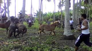 Adu Kuda Garaupa Pasilambena