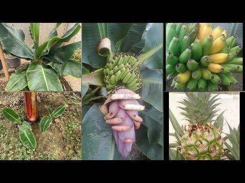 Банан. Несколько секретов по выращиванию