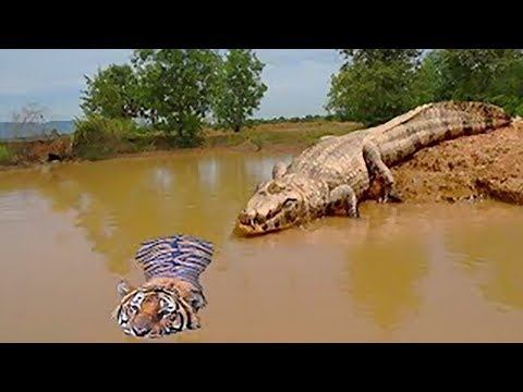 Unbelievable!!! God Forest Fight King Swamp, Tiger Become prey Of Crocodile Underwater