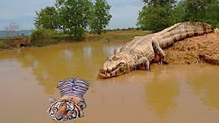 Unbelievable!!! God Forest Fight King Swamp, Tiger Become Prey Of Crocodile Unde