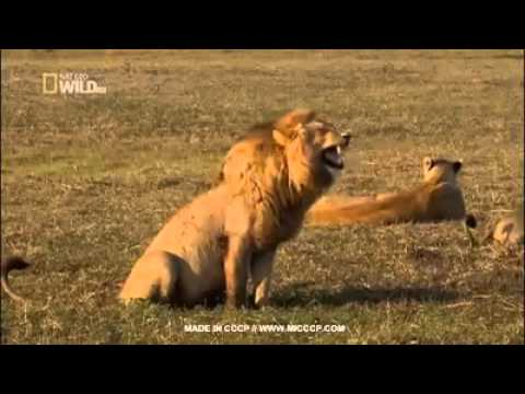 laughing lion