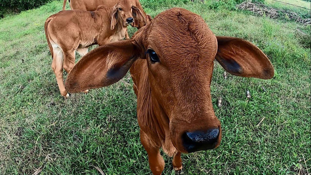 วัวบราห์มันน้อย สวยงาม เจ้า SK น้อย น่ารักๆ เอามาฝากครับ หวังว่าดูแล้วทุกคนคงยิ้มได้ครับ