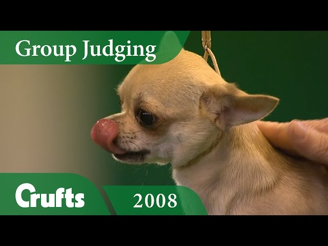 Smooth Coat Chihuahua wins Toy Group Judging at Crufts 2008 | Crufts Classics