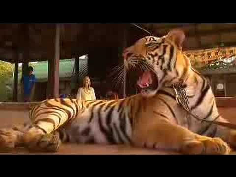Tigers living with Buddhists in Thailand