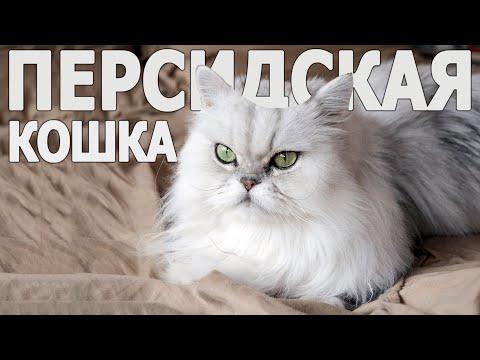 Все о породе Персидская Кошка