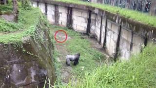 台北市立動物園~金剛寶寶撿磚頭下一秒讓人傻眼~我是故意的! thumbnail