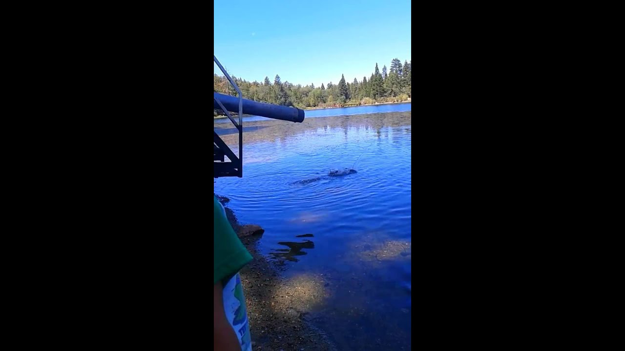 Jenks lake california trout stocking fishing youtube for Fish stocking ca