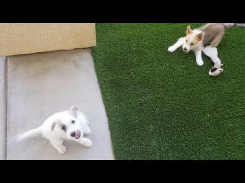 Parson Russell Terrier girls meet Portuguese Podengo Pequeno puppy girl